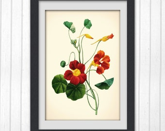 The Botanical 118, classic flower illustration, a botanical art print produced from an vintage book plate.