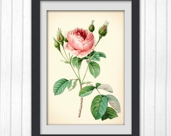 Digital Botanical print 129, vintage botanical wall art, pink rose.