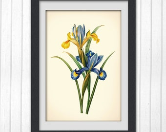 Digital botanical art print 132, blue and yellow flower, a restored antique flower illustration from a book plate