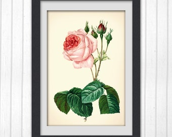 Botanical Illustration, Rose print 153,  instant download printable art produced from a vintage illustration upcycled from a bookplate.