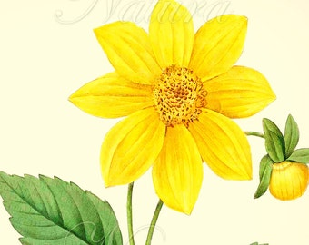 Yellow Botanical Print 175, a vibrant vintage botanical ilustration produced from a book plate.