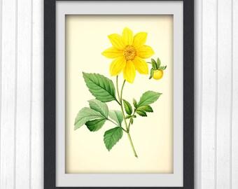 Redoute Print, Antique plant print, Yellow flower botanical print, botany floral art work, Digital Download 175