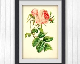 Rose Art Print, Botanical Print, a vibrant vintage botanical ilustration produced from a book plate, No176, Instant Download