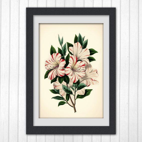 Vintage Botanical print 81, a classic flower illustration, giclee print home decor.