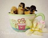 Ducklings, Baby Animal, Nursery Print, Duck, Teacup, Fine Art Photo, 5x7, 'Cup o' Calls'