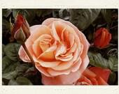 Irish Rose Pale Peach handmade photo note card