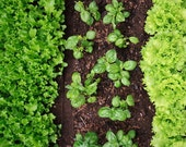 organic seeds, 6 heirloom garden seed packs of your choice