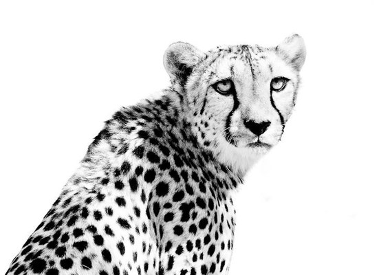Cheetah Wildlife Art - Modern Home Wall Decor - Black and White Fine Art Animal Photography