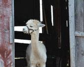 Alpaca in Barn Doorway print