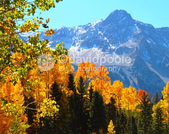 Sundrenched Aspens at Dallas Divide Colorado. Photography Print 11x14 Fine Art Southern Colorado Landscape