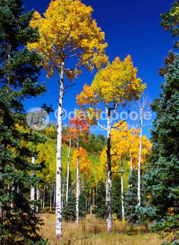 Through the Aspens Colorado. Photography Print 8x10 Fine Art Southern Colorado Landscape
