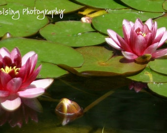 Pink Water Lily, Fine Art Photography,  Photo Note cards, zen, flower, chic, cottage, bathroom, spa, botanical ,  Gift, Birthday, Get Well