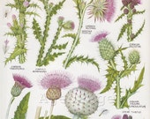 Vintage Botanical Print, Wildflower Chart, British Book Plate Illustration to Frame, Thistle