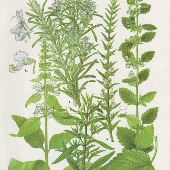Vintage Botanical Print, Book Illustration to Frame, Cottage Farmhouse Kitchen Decor, Home and Garden, Rosemary, Lemon Balm, 143