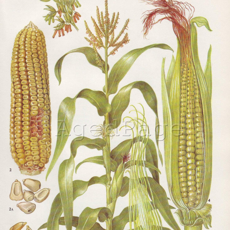 Vintage Botanical Print Vegetable Illustration Book by ...