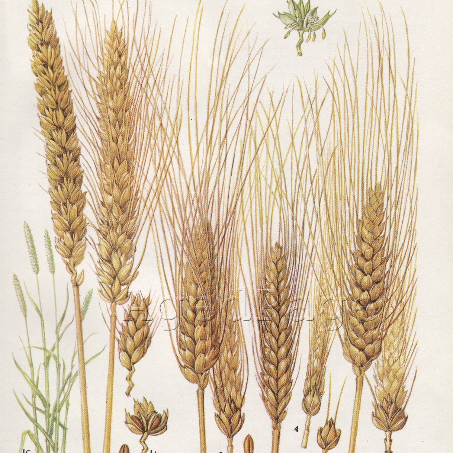 Wheat Botanical Drawing The book art illustrationWheat Botanical Illustration