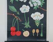 Botanical Pulldown School Chart--Cherry--Mid-Century Classroom Science Poster 1950s