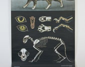 Zoological Pulldown School Chart--Cat--Mid-Century Classroom Science Poster 1960s