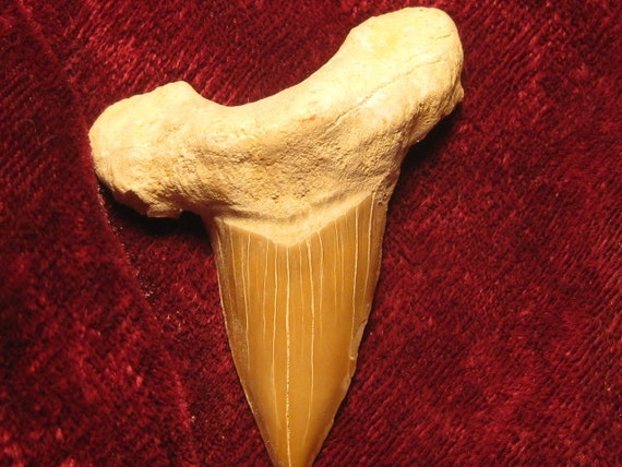 Lapidary supply - Fossil  Sharks tooth - free shipping usa