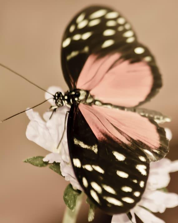 Pink Butterfly - 8x10 photograph - fine art print - nature - nursery art - tropical butterfly
