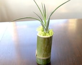 Air Plant Tillandsia Califano in a Handmade Bamboo Vase