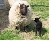 Brigid - Fawn, brown, grey raw Shetland wool fiber - 2012 & 2013 shearings reserved, please convo if you'd like a similar fleece.
