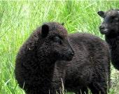 Black Shetland lamb fleece  -  11 pounds available