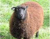 Reserved for JoLynn - Garth - Dark chocolate Shetland lamb fleece - One pound available.