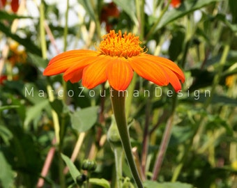 "Orange Flower - 8x8"" photograpy print"