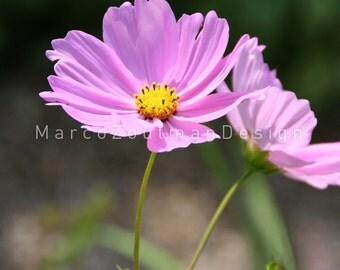 "Pink flower - 8x8"" photography print"