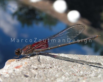 """Dragonfly at the Blue Hole - 8x8"""" photograpy print"""