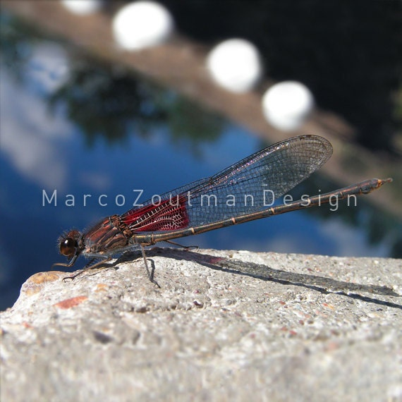 "Dragonfly at the Blue Hole - 8x8"" photograpy print"