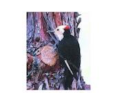 SALE!! 10 - White Headed Woodpecker Blank Note Card