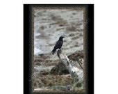 Sale - 10 Crow Blank Note Cards
