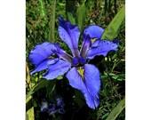 Sale!! 10 - Blue Iris  Blank Note Card