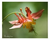 Sale!!! - 10 Red Columbine Blank Note Cards