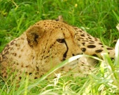 Cheetah laying in the grass (Hluhluwe, South Africa) - 8x12 lustre print