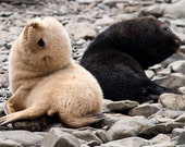 The yin and yang of baby fur seals  (South Georgia) - 8x12 lustre print