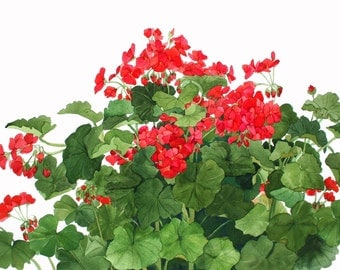 Red Geraniums Growing in My Garden Watercolor Reproduction