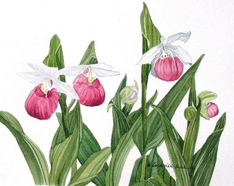 Pink Lady Slipper Watercolor Reproduction by Wanda Zuchowski-Schick