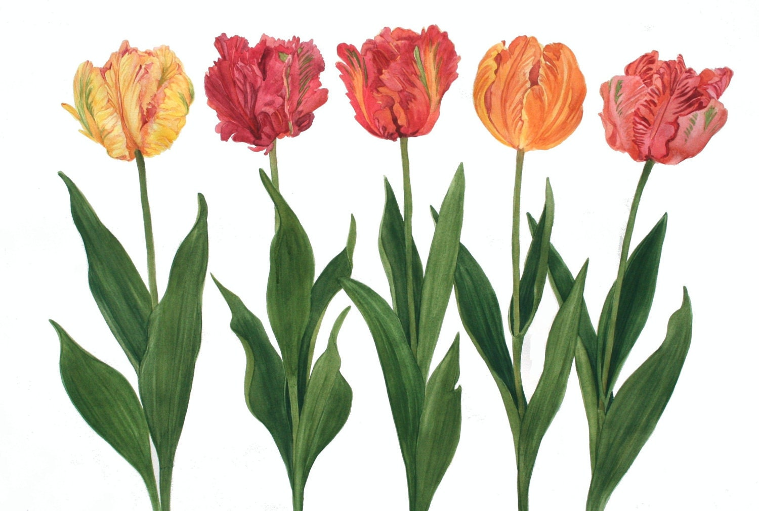 Multi Colored Parrot Tulip Watercolor By Wandazuchowskischick