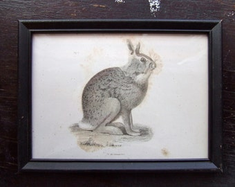 Framed Sitting Rabbit Etching from 1842