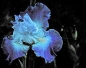 Abstract Fine Art Photography Nature Purple Iris Flower, Iris - 8x12