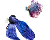Colorful Siamese Fighting Fish - Bright, Intense, Red, Blue
