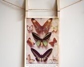 Vintage Book Page from 1955 Universal Standard Encyclopedia, Butterflies Print
