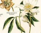 Poisonous plants, belladonna, foxglove, Christmas rose: Antique 1890s chromolithograph, ready to frame
