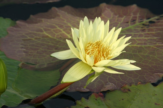 Yellow Lily and leaves in the Pond, Nature Photography, Home Art
