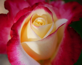 Flower Photography - pink and yellow rose, 8x10 photograph