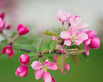Flower Photography - pink spring blossoms, 8x10 photograph