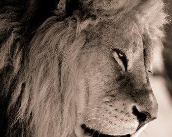 Lion Photography - Lion photograph, lion picture, lion print, african lion, wildlife photography, sepia tone, fine art photograph, lion art